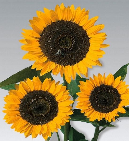 Sonnenblume Helianthus Schnittgold 160 cm