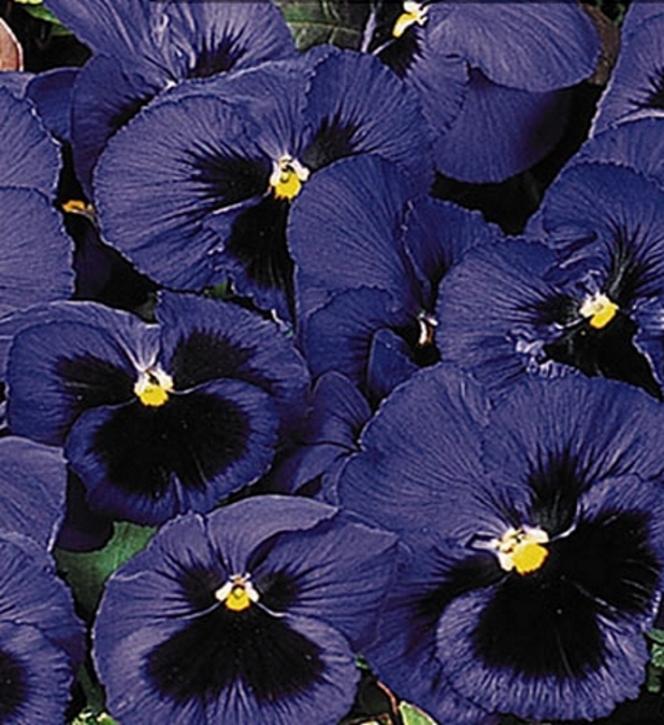 Stiefmütterchen Viola dunkelblau mit Auge zweijährig Höhe 20 cm