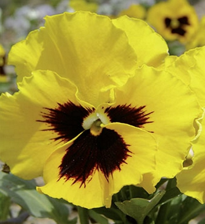 Stiefmütterchen Viola Gelb mit Auge zweijährig Höhe 20 cm