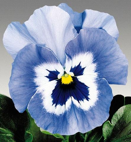 Stiefmütterchen Viola Joker hellblau zweijährig Höhe 15 cm