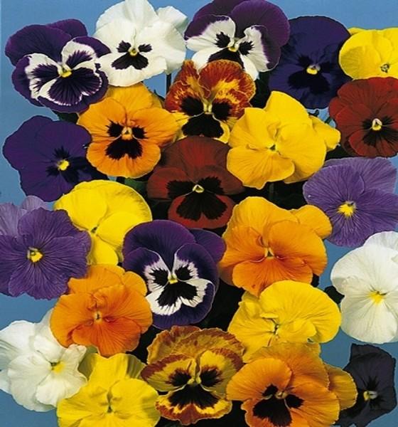 Stiefmütterchen Viola Mischung mit Auge Höhe 20 cm