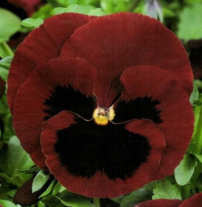 Stiefmütterchen Viola Rot mit Auge zweijährig Höhe 20 cm