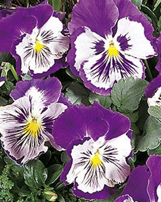 Stiefmütterchen Viola Cats violett-weiß zweijährig Höhe 15 cm