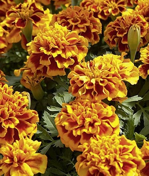 Studentenblume Tagetes Honeycomb Höhe 25 cm