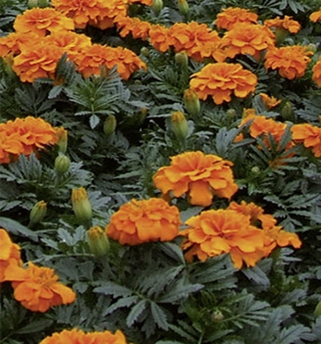 Studentenblume Tagetes Orange Boy Höhe 20 cm