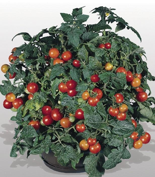 Tomaten Obsttomate Benarys Gartenfreude