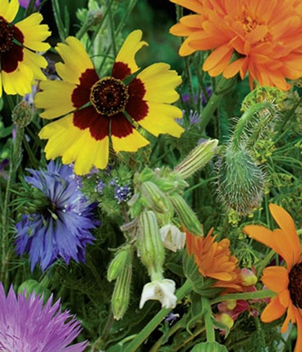 Blumen Wildblumen und Kräuterwiese Samen Mischung