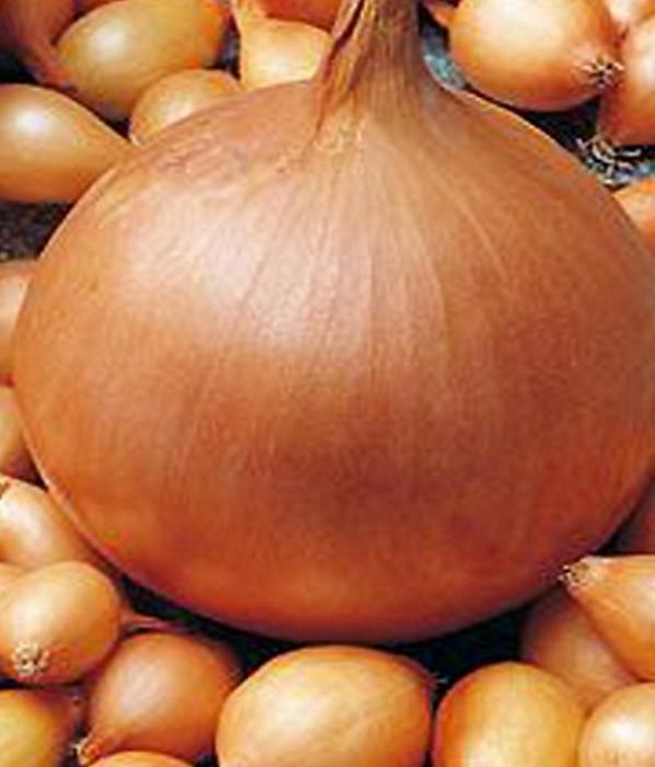 Sturon Steckzwiebeln Runde Zwiebeln 750 g trockene, frische Ware