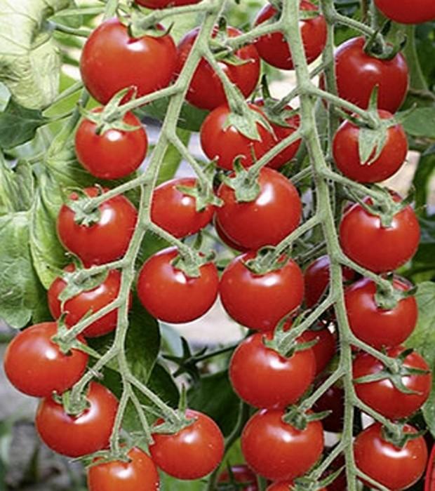 Tomaten Kirschtomate BIO Bartelly