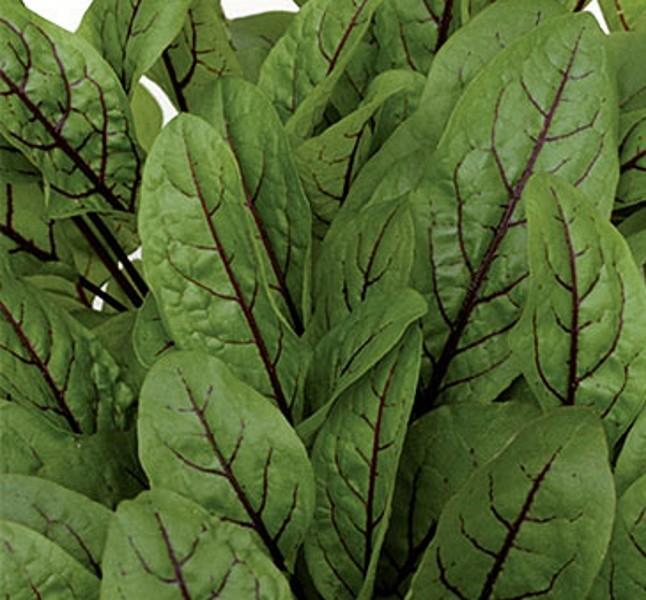 Blutampfer Würzkraut Heilpflanze einjährig