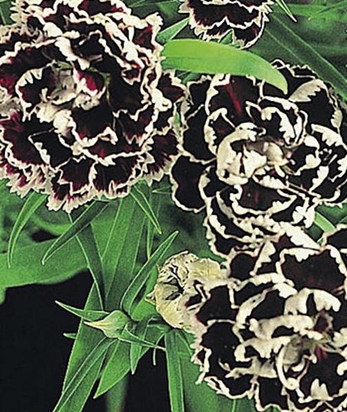 Nelken Black and white Minstrels zweijährig Höhe ca.35 cm
