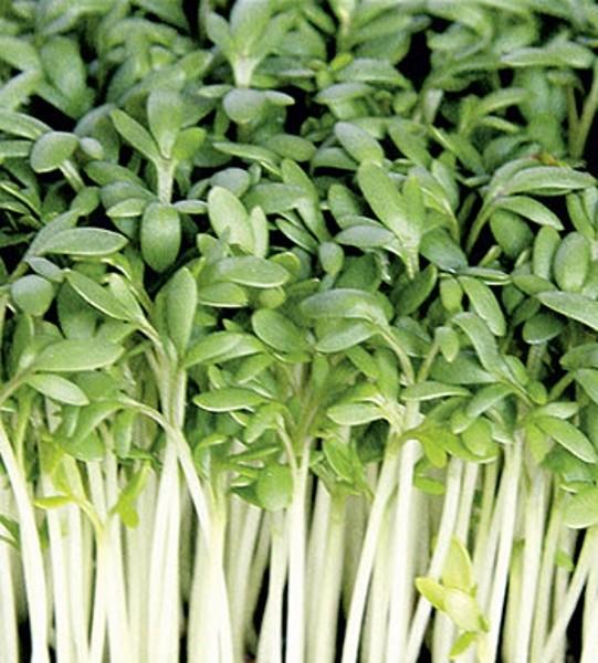 Kresse BIO Gartenkresse Einfache