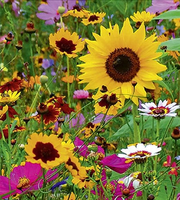 Sommerblumen Singvogel Mischung Nützlingsgarten