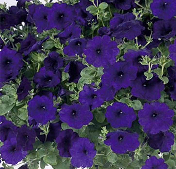 Petunie Hänge Petunie Big Time Blue Höhe 100 cm