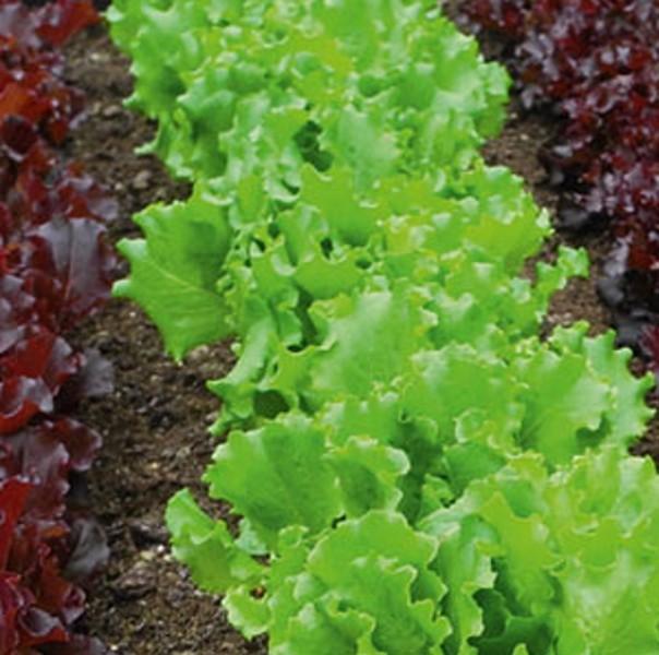 Multileaf Salate Saatband 5m für Balkon