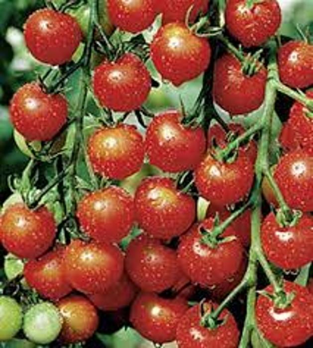 Tomaten Cocktail-Kirschtomate Sweet Cherry keine Hybride!