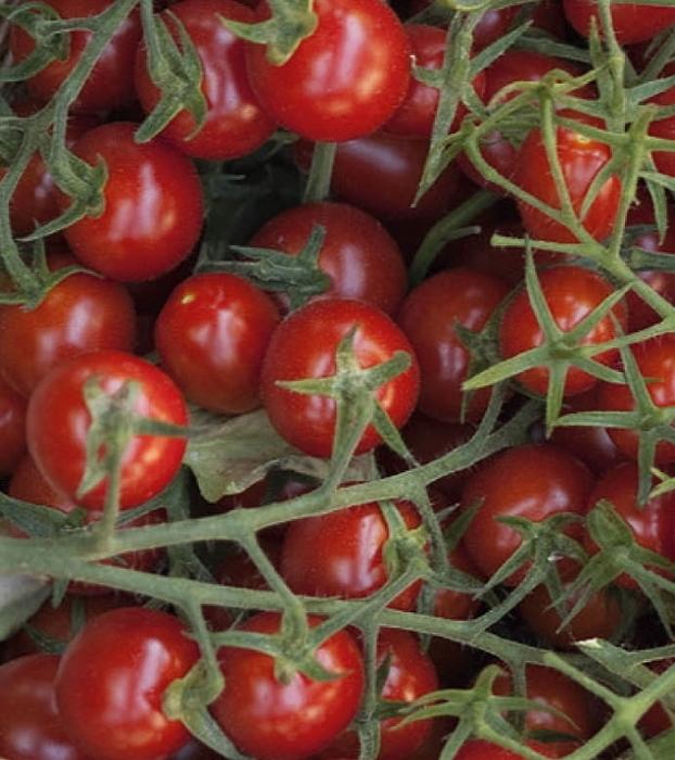 Tomaten Wildtomate Rote Murmel - keine Hybride