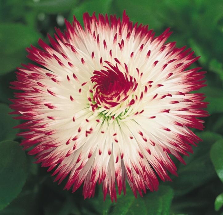 Gänseblümchen Bellis Habanera gefüllt zweijährig 15 cm