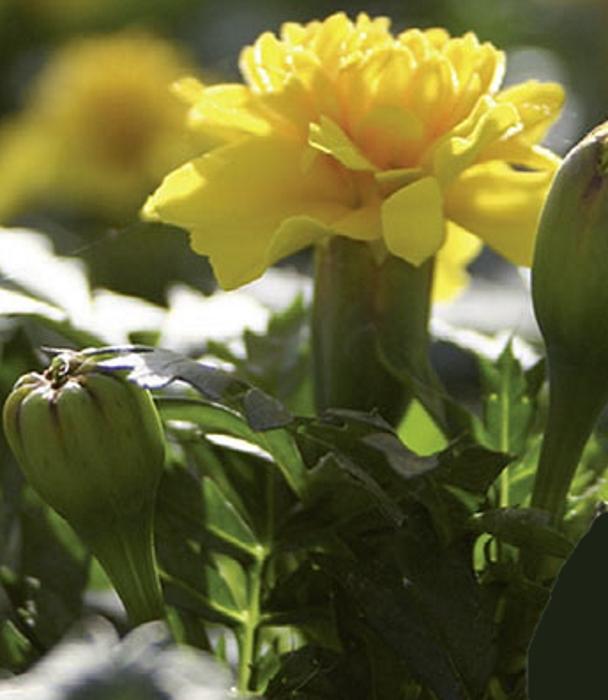 Studentenblume Tagetes Yellow Boy Höhe 20 cm