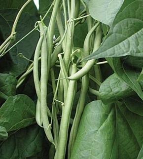 Buschbohnen Primel 25 kg Samen