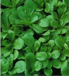 Feldsalat Favor dunkelgrün vollherzig