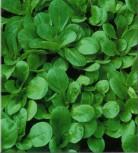 Feldsalat Favor dunkelgrün vollherzig Vorteilspack