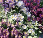 Gänseblümchen Australisches Mischung einjährig