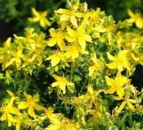 Johanniskraut Heilpflanze Staude mehrjährig