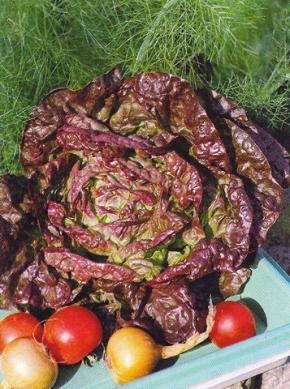Kopfsalat Merveille des 4 Saisons