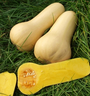 Kürbis Early Butternut