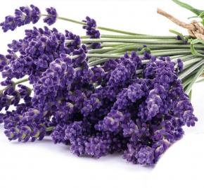 Lavendel Lavendula Echter Höhe 30-50 cm