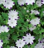 Liebeshainblume Nemophilla einjährig Höhe 20 cm
