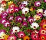 Mittagsblume Prachtmischung einjährig Höhe 10 cm