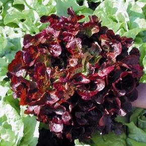 Pflücksalat Red Salad Bowl