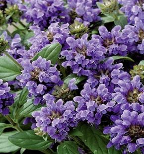 Prunella Braunelle Freelander Blue mehrjährig 15 cm