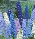 Rittersporn Delphinium Feine Farben Mischung Höhe 110 cm