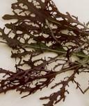 Rauke Rote Rauke Agano Asia Salat einjährig