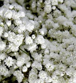 Schleierkraut weiß gefüllt mehrjährig Höhe 90 cm