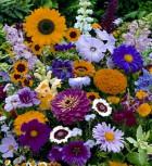 Sommerblumen Schnittblumen Mischung Höhe 20-50 cm