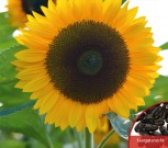Sonnenblume Helianthus American Giant Höhe bis 400 cm