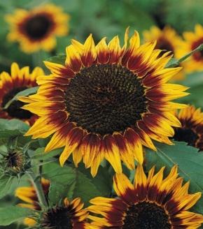 Sonnenblume Helianthus Floristan Höhe 100 cm