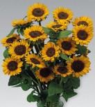 Sonnenblume Helianthus Sonja Höhe 100 cm