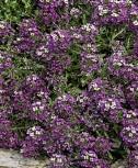 Steinkraut Königsteppich violett einjährig 6-10 cm