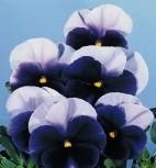 Stiefmütterchen Viola Blau-Lasur zweijährig Höhe 20 cm