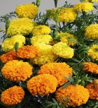 Studentenblume Tagetes Antigua Mix einjährig 20 cm