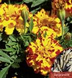 Studentenblume Tagetes Bonanza Bolero Höhe 20 cm