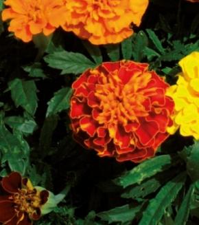 Studentenblume Tagetes Hohe gefüllte Mischung 70 cm