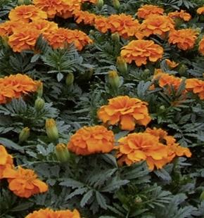 Studentenblume Tagetes Orange Boy Höhe 20 cm