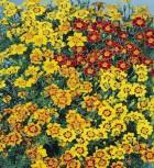 Studentenblume Tagetes Starfire Mix Höhe 30 cm