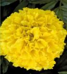 Studentenblume Tagetes Crush Pinapple Höhe 20 cm